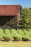 Beds of lavender set against the backdrop of an old barn. This image is available through an alternate architectural stock image agency, Collinstock located here: http://www.collinstock.com