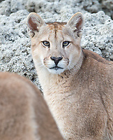 One of the puma families we saw included a mother with two seven-month-old cubs.  This is one of the cubs.