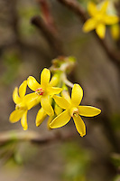 Yellow forsythia blooming in late February in Oxfordshire.