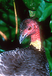 Brush Turkey, Alectura lathami