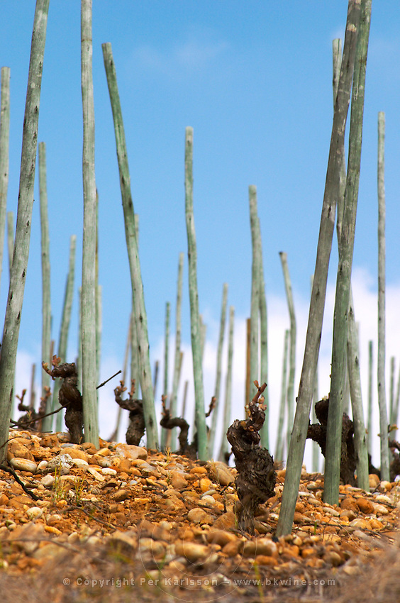Old vines on stony pebbly soil and with wooden supporting poles. After winter pruning but before leaves start growing. The Hermitage vineyards on the hill behind the city Tain-l'Hermitage, on the steep sloping hill, stone terraced. Sometimes spelled Ermitage. Tain l'Hermitage, Drome, Drôme, France, Europe
