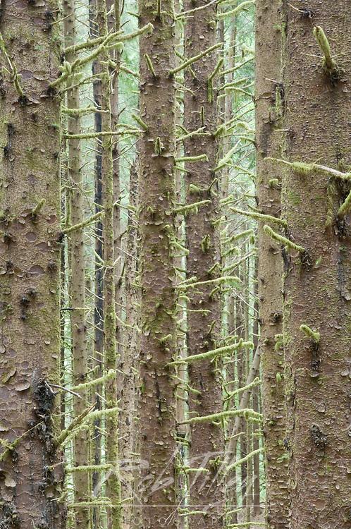 Sitka Spruce in Costal Rainforest, Cape Pertetua, Siuslaw NF, OR, USA