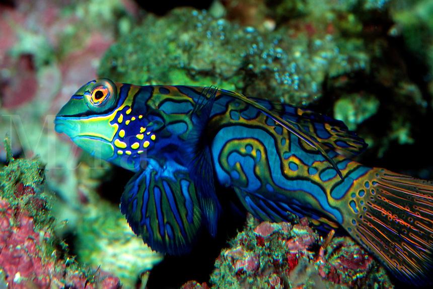 Mandarinfish, Synchiropus splendidus, Fiji, Pacific Ocean