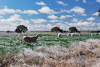 Farmland with sheep after ice rain, Dinero, Lake Corpus Christi, South Texas, USA