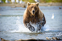 14 year old female coastal brown bear charging through Alaska stream in pursuit of a salmom catch for her 1 1/2 year old cub.