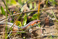 California Red-sided Garter Snake, Thamnophis sirtalis infernalis, in Sonoma County, California