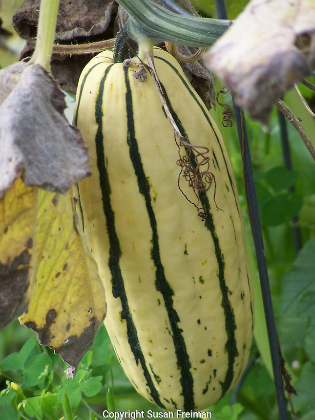 Augusts, 2011 Squash, kale and sweet potato vines, Gardens and Farms,