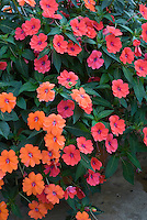 Trailing Impatiens 'Fanfare Orange' + 'Fanfare Coral'