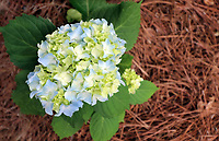 Beautiful blue green Hydrangea ball with lime hues - Free nature stock image.