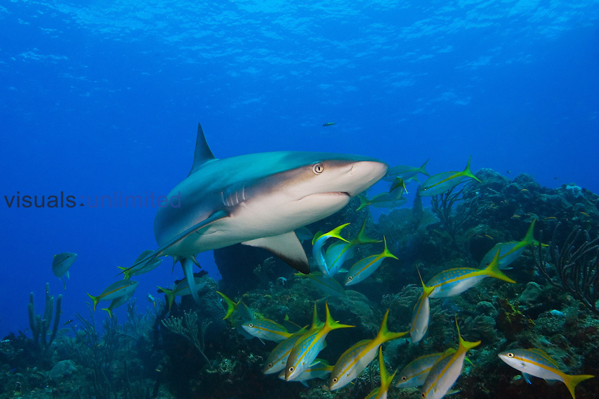 Caribbean Reef Shark (Carcharhinus perezi) and Yellowtail Snappers (Ocyurus chrysurus) over a coral reef, Grand Bahamas, Atlantic Ocean.