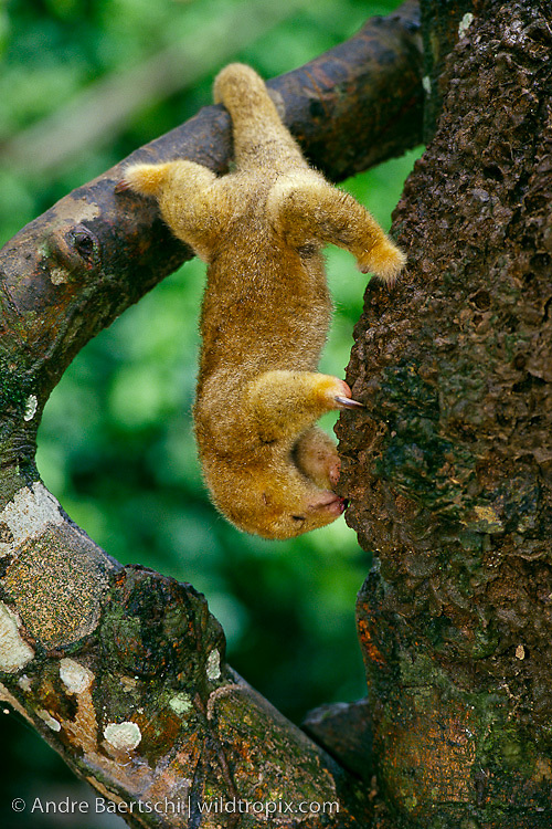 Pygmy or Silky Anteater(Cyclopes didactylus), feeding on termites at termite nest on tree, tropical rainforest, Bahuaje-Sonene National Park, Peru.