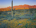 Organ Pipe National Monument, AZ:  Saguaro cacrus in a filed of Mexican gold poppies with moonrise over the Ajo mountains