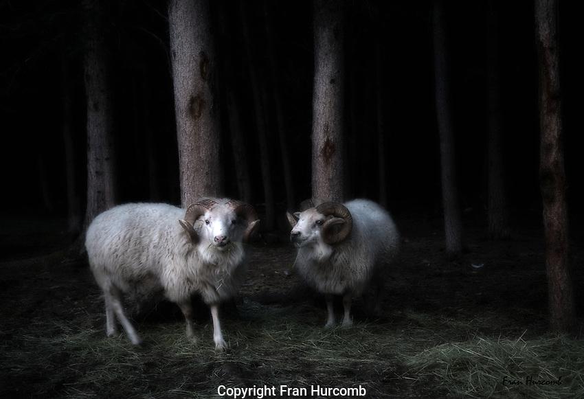 rams in woods