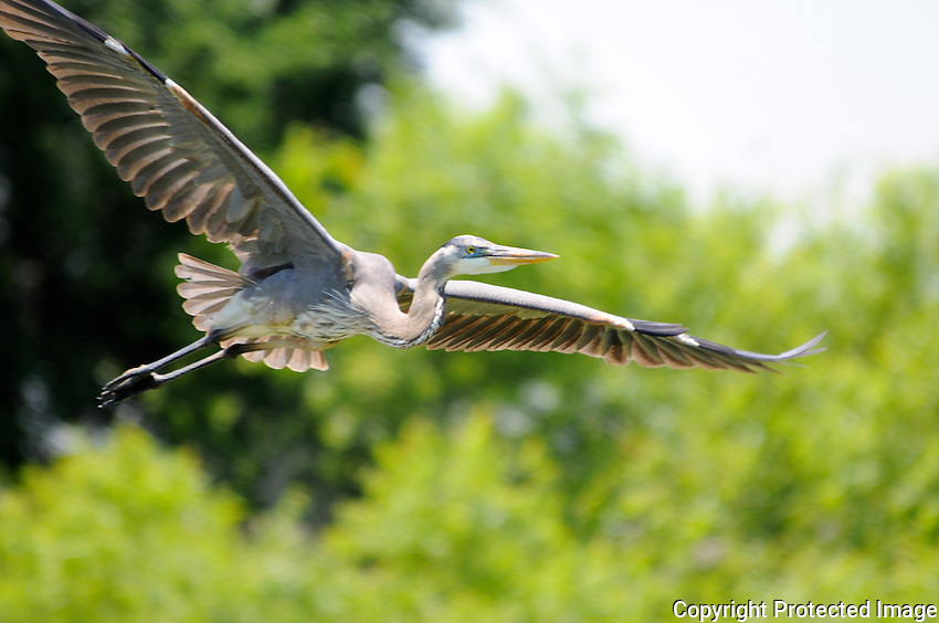 Huge Great Blue Heron flying over the wetlands located at Wakodahatchee Wetlands, Delray Beach, Florida.