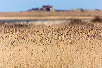 Marshes, reeds and reed beds at RSPB Titchwell Marsh wetland on the North Norfolk coast, UK