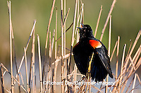 01603-025.05 Red-winged Blackbird (Agelaius phoeniceus) male singing-displaying in wetland Marion Co. IL