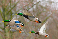 MALLARD DUCKs (Anas Platyrhynchos) flying.