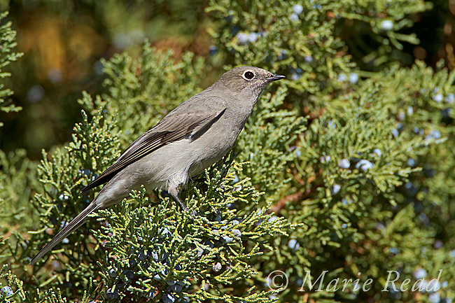 Townsend's Solitaire (Myadestes townsendii), attracted to feed on Western(=Sierra) Juniper berries in autumn, Mono Lake Basin, California, USA