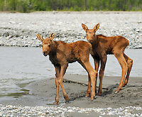 Twin moose calves waiting for their mother on a gravel bar in the middle of the Matanuska River check out an approaching raft.  Image taken about 20 miles north of the confluence with the Chickaloon River.