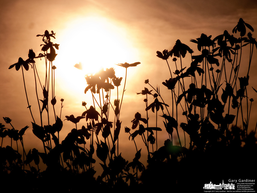 Black-eyed susan flowers silhouetted against a sunset at Inniswood Gardens in Westerville Ohio