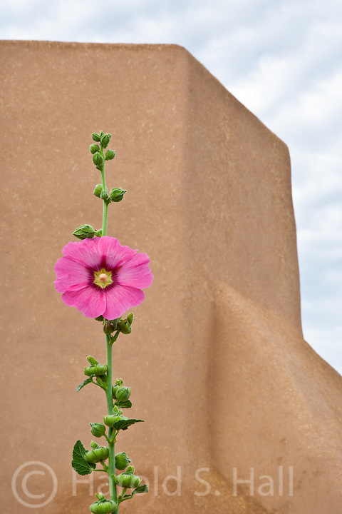 A single hollyhock is framed with the iconic San Francisco de Asis Church in the background.