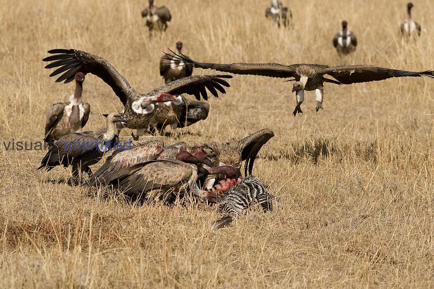 Vultures at zebra carcass.