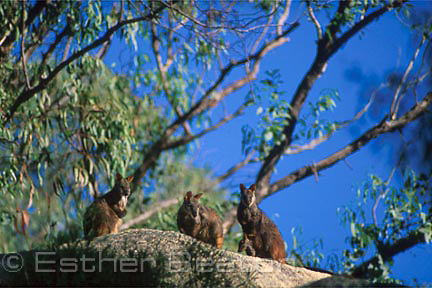 Brush-tailed Rock Wallabies (Petrogale penicillata) group on top of granite outcrop for early morning sunning. Southeastern Australia. Threatened species