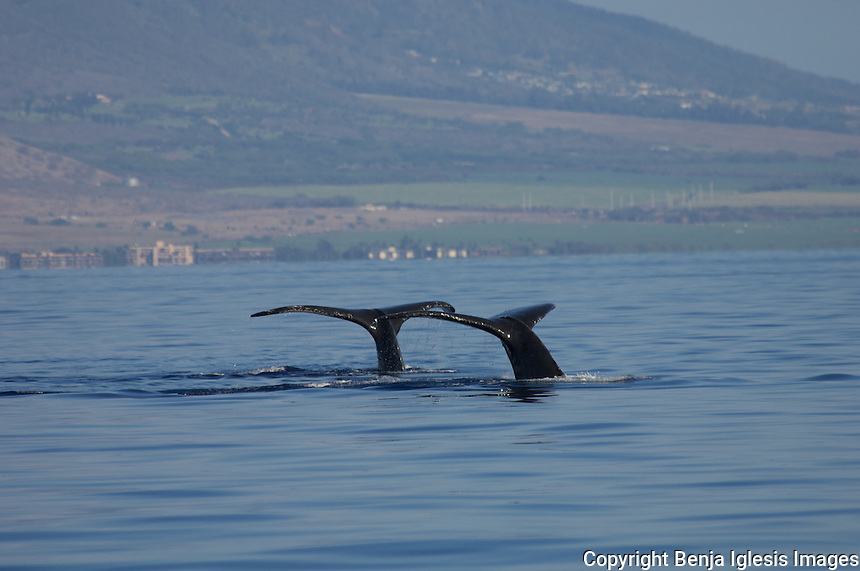 Photos of Humpback whales in Hawaiian waters.<br /> Fotos de ballenas jorobadas en las costas de Maui,Hawaii.
