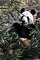 "April 1, 2011, Tokyo, Japan - A female giant panda ""Shin Shin"" eats bamboo at Ueno Zoo in Tokyo on Friday, April 1, 2011, on the first day its appearance with a fellow male panda ""Ri Ri"", not seen, to the public. Thousands of visitors flocked to catch a first glimpse of a pair of pandas on loan from China, in a welcome respite from the gloom over last month's massive earthquake and tsunami in northern Japan. (Photo by Daiju Kitamura/AFLO) [1045] -ty-"