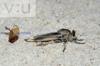Larvae metamorphosed in the sand. Note pupal shuck behind the adult fly.