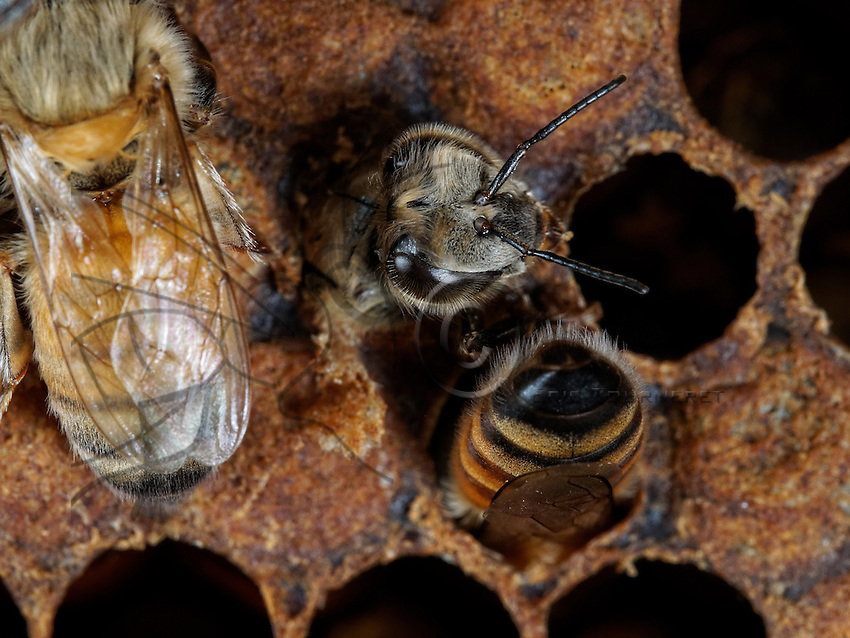 A honeybee nurse welcoming a young birth