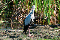 Asian openbill or Asian openbill stork (Anastomus oscitans) is a large wading bird in the stork family Ciconiidae. This distinctive stork is found mainly in the Indian subcontinent and Southeast Asia. It is greyish white with glossy black wings and tail and the adults have a gap between the arched upper mandible and recurved lower mandible. Young birds are born without this gap which is thought to be an adaptation that aids in the handling of snails, their main prey. Although resident within their range, they make long distance movements in response to weather and food availability. Bundala National Park - Sri Lanka.