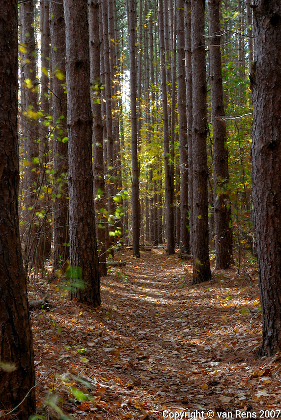 Path marches through the tall pines on fall stroll in the woods..