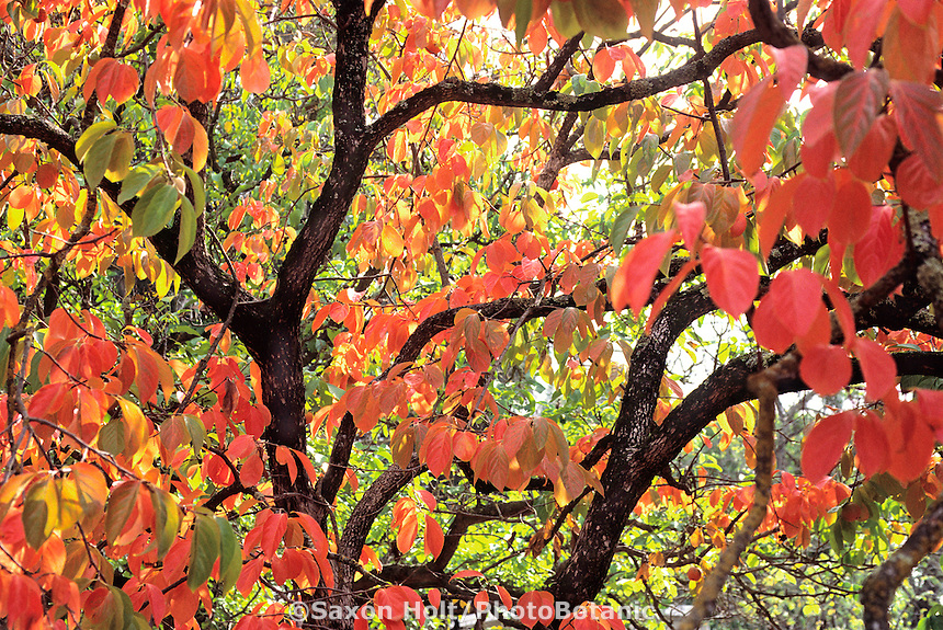 Diospyros kaki 'Fuyu'. Oriental Persimmon tree in fall color