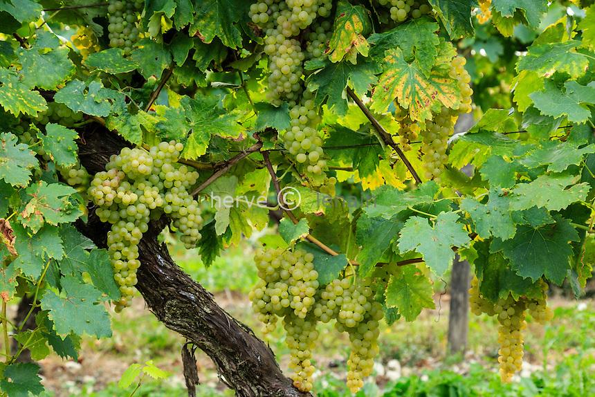 France, Charente (16), Nonaville, vignoble de Cognac, vigne proche de la récolte // France, Charente, Nonaville, Cognac vineyard close to the harvest