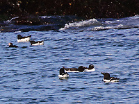 Adult razorbills in breeding plumage, plus one puffin