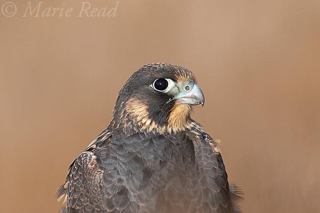 Peregrine Falcon (Falco peregrinus), Pacific race, juvenile plumage (July), California, USA. Wild.