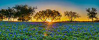 Sunrise over a field of bluebonnets pano through the mesquite tree in the Texas hill country . You can see the sunset is just coming up over hills along the horizon through the two mesquite trees in the landscape. This was a nice field of wildflowers. The Texas bluebonnet or lupine was declare a state flower in 1971 by the Texas legislature. Also Lady Bird Johnson help in her push to create the Highway beautification Act which is how wildflowers in Texas took root. We can thank Lady Bird for these beautiful spring wildflowers that are across our highways and park and where ever they may be.