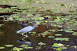 A little blue heron hunts for lunch, while a pair of common galinu look on.