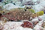 Epinephelus adscensioni, Rock hind, Florida Keys