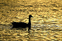 Canadian Goose bird silhouetted on the water of Dyes Inlet as the sun sets in Bremerton, WA. Stock photography by Olympic Photo Group