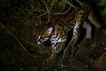 Sunda Leopard Cat (Prionailurus javanensis) at night, Deramakot Forest Reserve, Sabah, Borneo, Malaysia