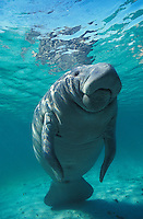 manatee photos
