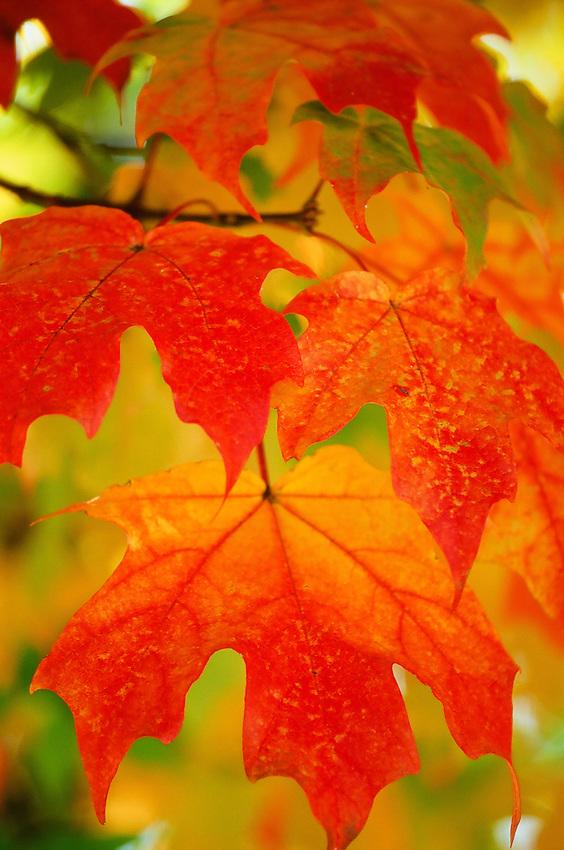 Fall Leaves No. 1 Taken in Virginia  on Fuji Velvia 100 film