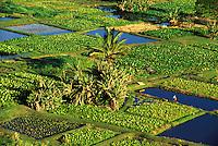 Taro patches located on Keanae Peninsula, Maui.