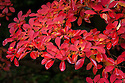 Autumn foliage of Enkianthus campanulatus var. campanulatus f. albiflorus, early November.