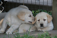 Yellow Labrador retriever (AKC) puppy biting sibling's ear