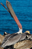 This California brown pelican (Pelecanus occidentalis californicus) is throwing its head back to stretch, showing off its bill pouch (gular sac) and neck.