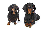 Pair of Daschunds in the studio with white background