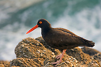 Black Oystercatcher (Haematopus bachmani) in California.